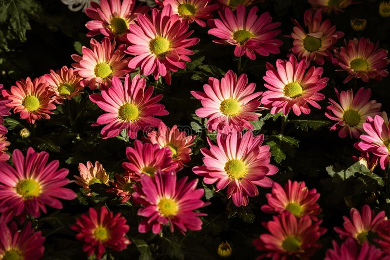 Purpurowi Mums kwiaty obraz stock