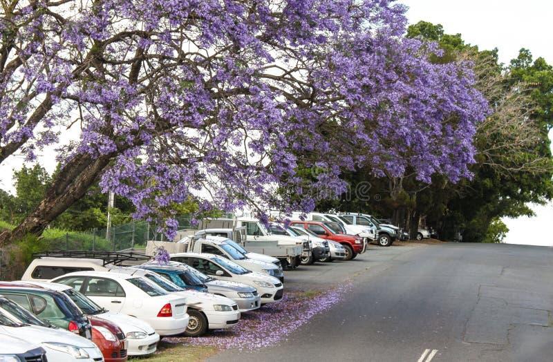 Purpurowi okwitnięcia Jacaranda drzewa spada na samochodach parkujących na wzgórzu w Australia zdjęcia royalty free