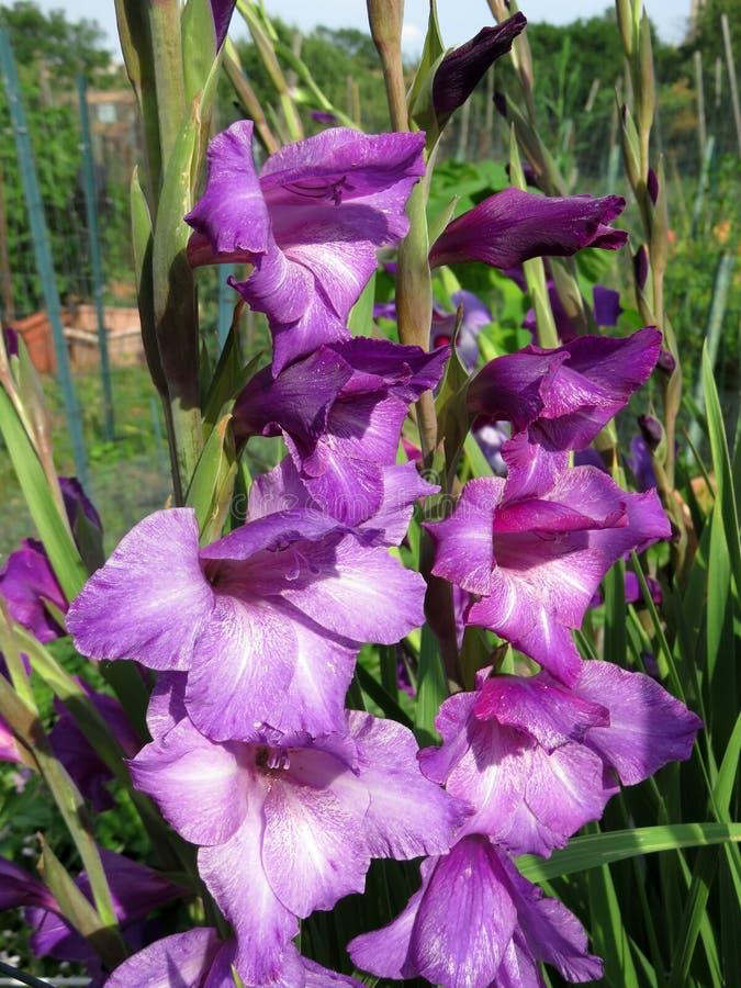 Purpurowi okwitnięcia w wiosna ogródzie zdjęcia stock