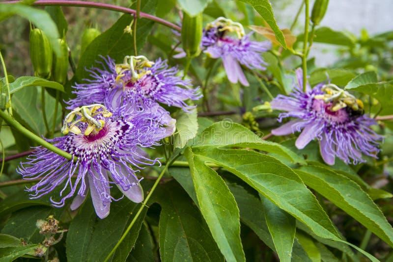 Purpurowi pasja kwiaty i ulistnienia Passiflora incarnata obrazy stock
