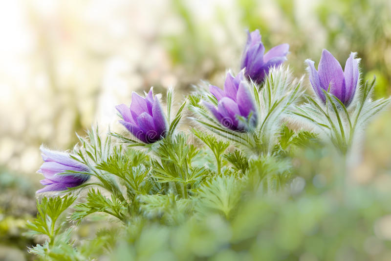 Purpurowi pasque kwiaty w wiośnie obraz royalty free