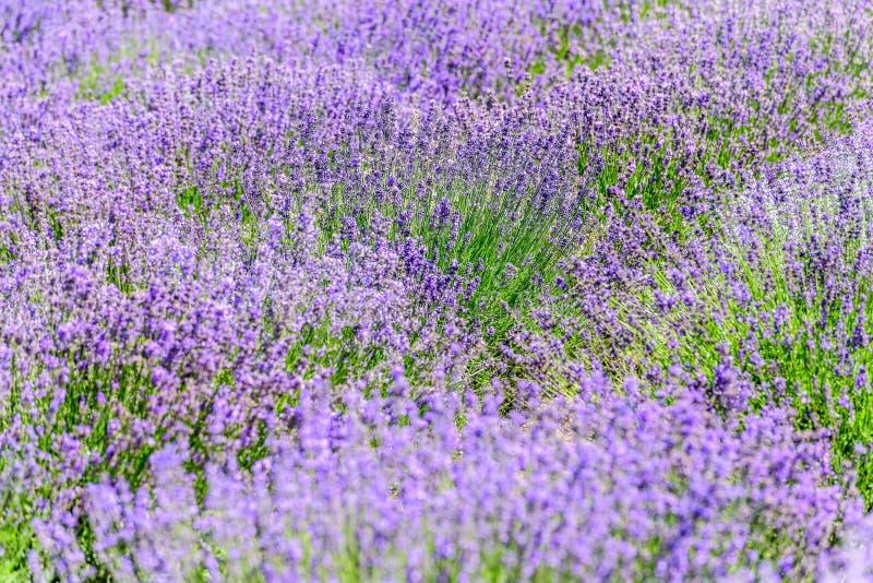 Purpurowi pola lawendowi kwiaty obraz stock