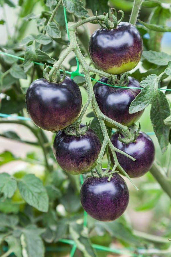 Purpurowi pomidory r na gałąź fotografia stock