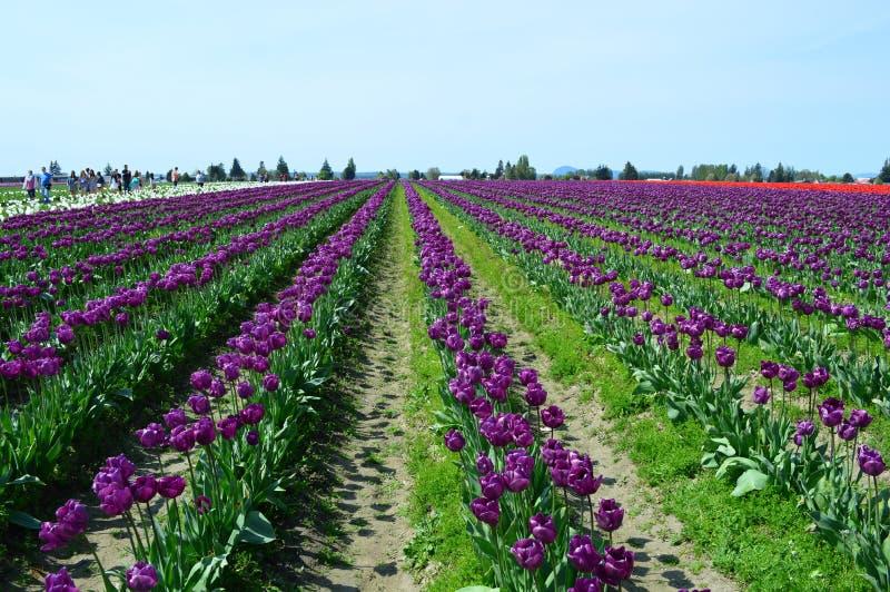 Purpurowi tulipany w Skagit dolinie zdjęcia stock