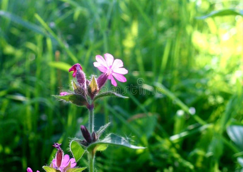 Purpurowi Wildflowers zdjęcia royalty free