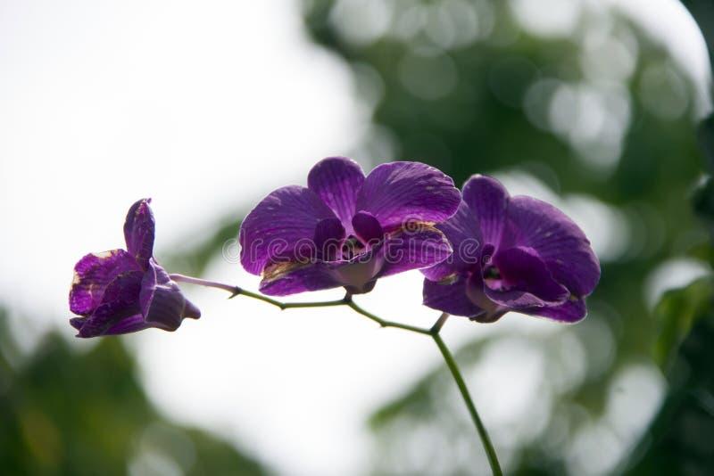 Purpurowy ćma orchidei kwiat na drzewie Phalaenopsis jest jeden popularne orchidee w handlu zdjęcia royalty free