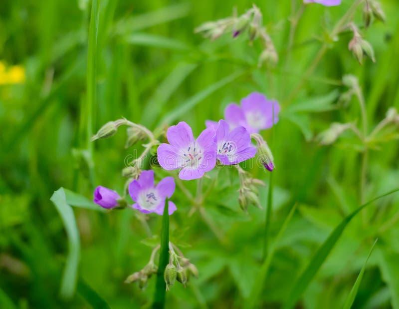 Purpurowy łąkowy kwiat - Gerà ¡ nium praténse fotografia stock