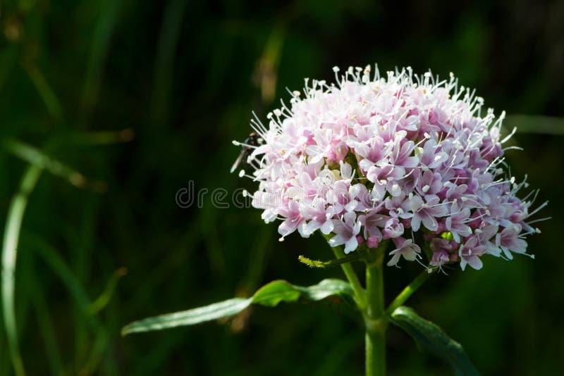 Purpurowy alp kwiat obrazy stock