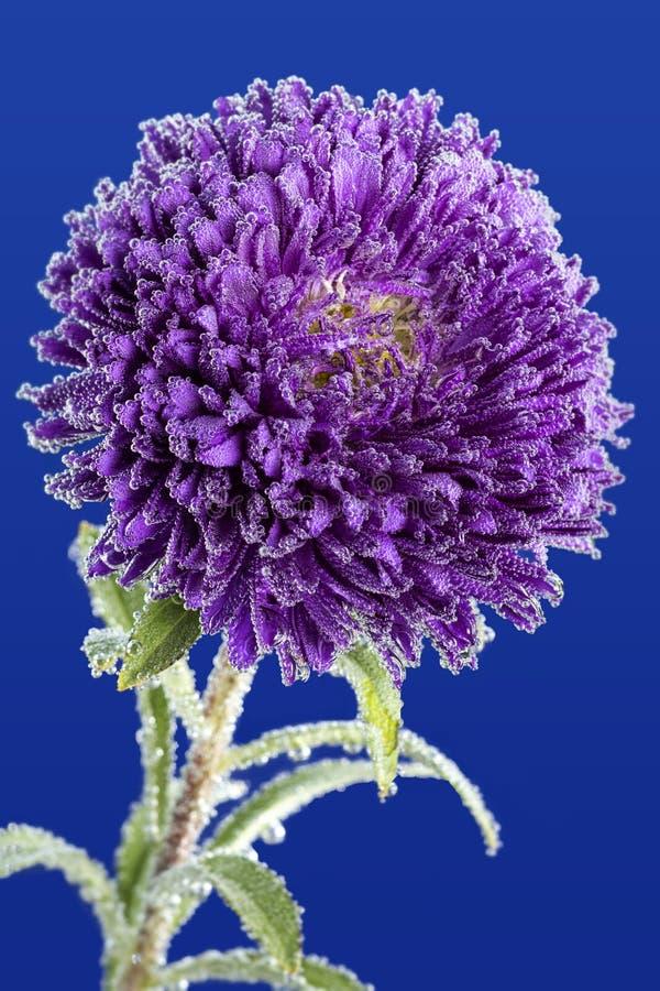 Purpurowy aster zakrywający z wodnymi kropelkami zdjęcia royalty free
