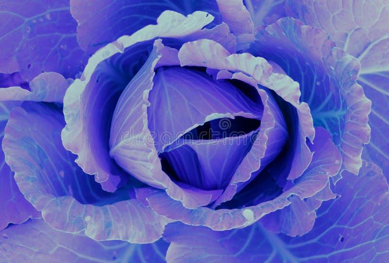 Purpurowy błękitny Kapuściany dorośnięcie w organicznie gospodarstwie rolnym zamkniętym w górę - obrazy stock