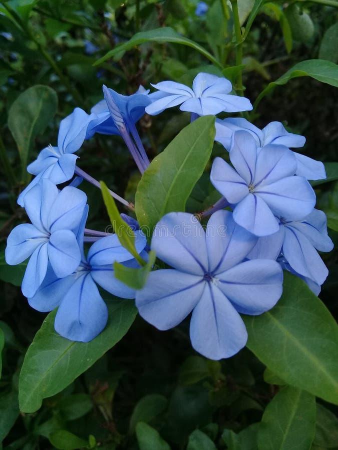 Purpurowy błękitny kwiat zdjęcia stock