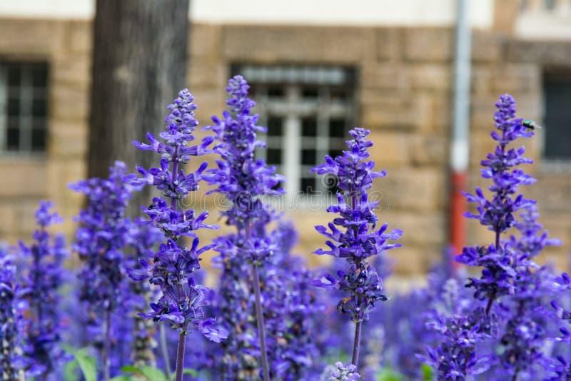 Purpurowy Błękitny kwiatu Lavendar bzu pola ogródu europejczyk fotografia royalty free