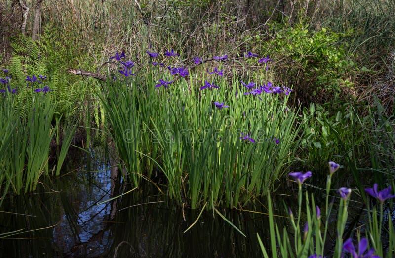 Purpurowy błękitny Luizjana irysowy narastający dziki w zalewiska bagna wodzie zdjęcia royalty free