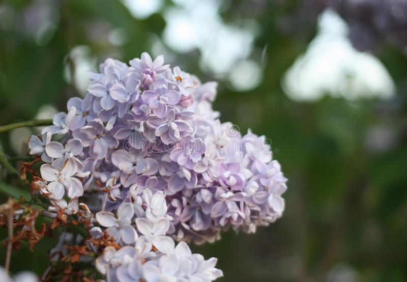 Purpurowy bez kwitnie outdoors fotografia stock
