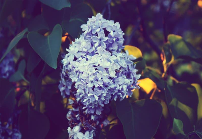 Purpurowy bez kwitnie outdoors zdjęcie stock