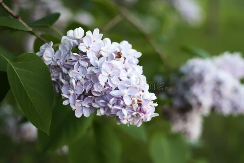 Purpurowy bez kwitnie outdoors zdjęcie royalty free