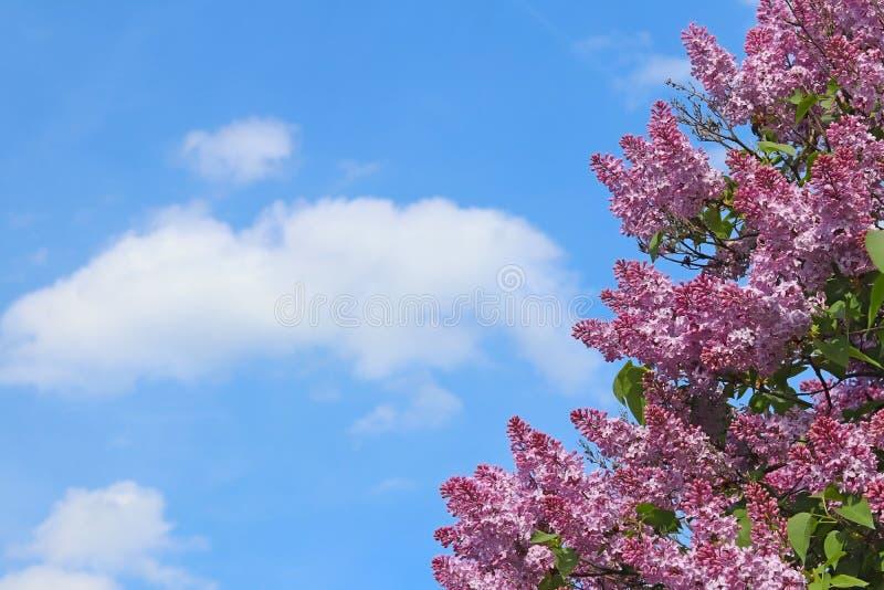 Purpurowy bez kwitnie przeciw niebieskiemu niebu z chmurami na słonecznym dniu Widok z miejscem na inskrypci Kartka z pozdrowieni fotografia royalty free