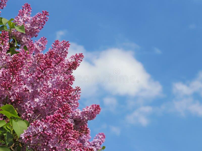 Purpurowy bez kwitnie przeciw niebieskiemu niebu z chmurami na słonecznym dniu Widok z miejscem na inskrypci Kartka z pozdrowieni obraz stock