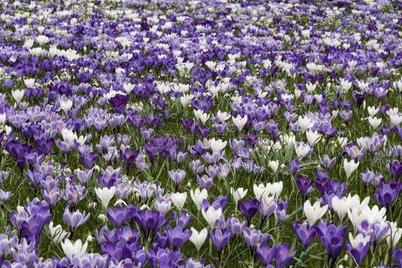 Purpurowy biały krokus obraz royalty free