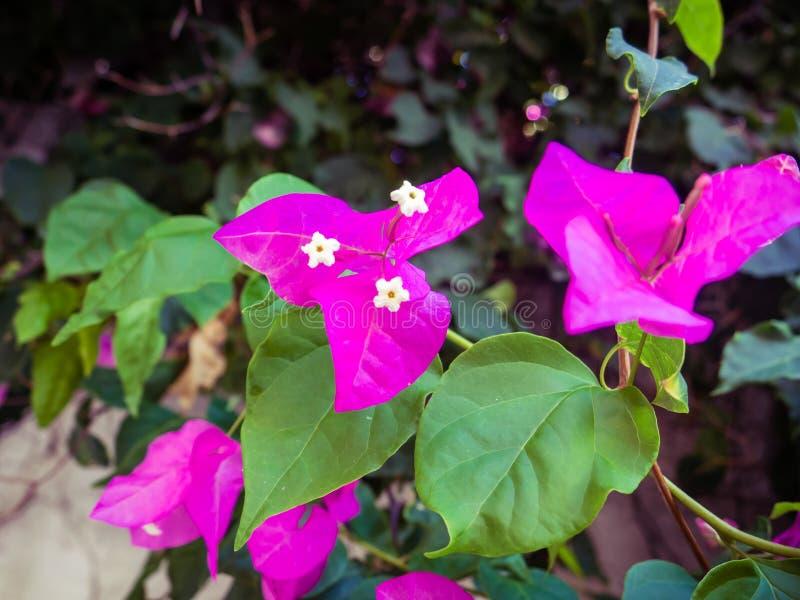 Purpurowy bougainvillea kwitnie w kwiacie - zbliżenie strzał zdjęcie royalty free