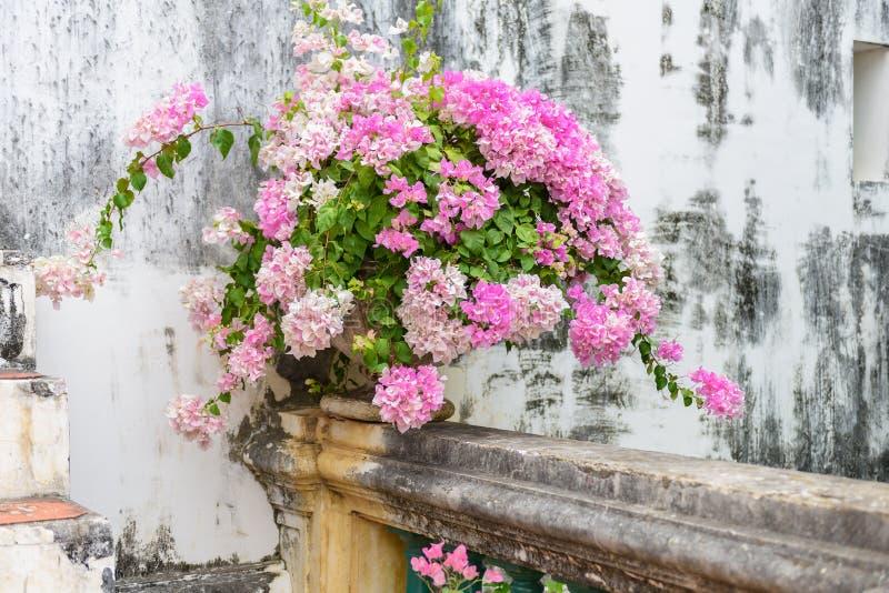 Purpurowy bougainvillea w rocznika cementu kwiatu garnku zdjęcia royalty free