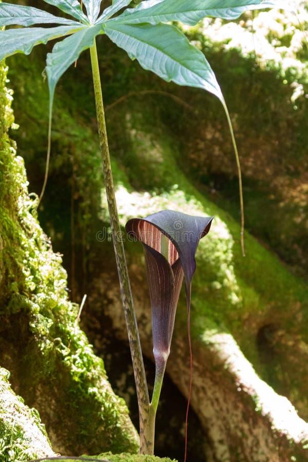 Purpurowy brązu kwiat kobry leluja nazwany Jack w ambonie, także, r w lesie zdjęcie stock