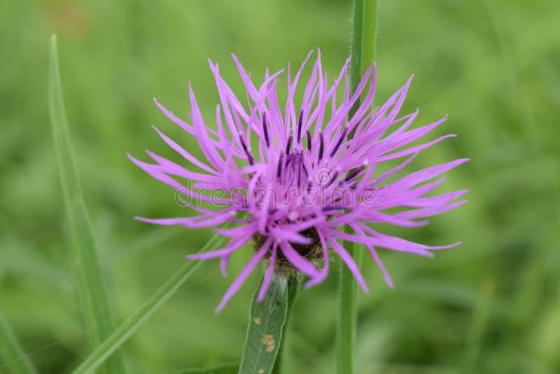 Purpurowy brytyjski wildflower w trawie obraz royalty free