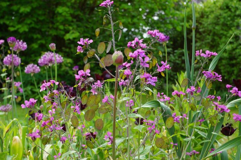 Purpurowy co dwa lata Lunaria annua, rzetelność/ zdjęcie stock