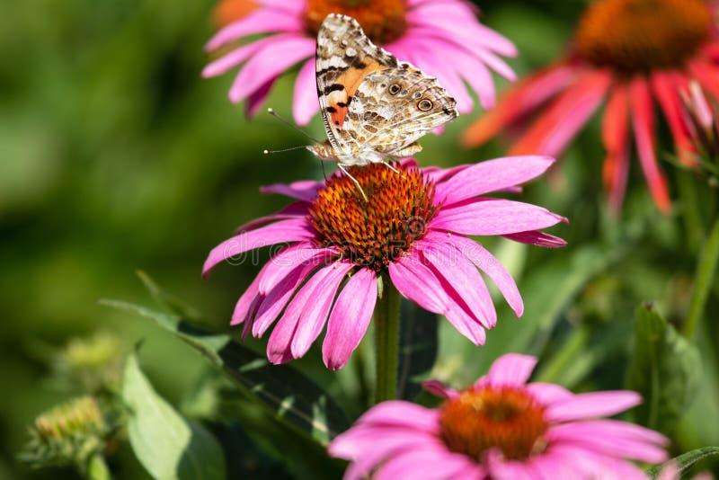 Purpurowy coneflower Echinacea purpurea i motyla up zakończenie zdjęcia stock