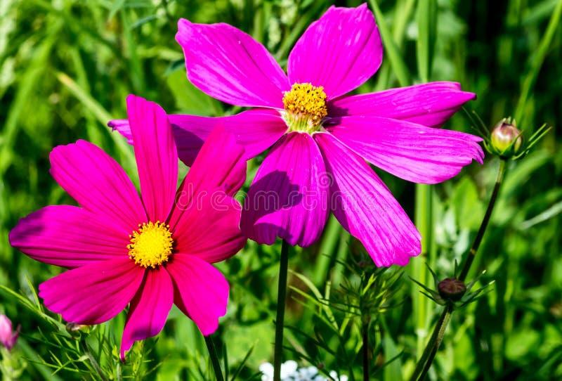 Purpurowy Cosmea kwitnie kosmosu bipinnatus obraz royalty free