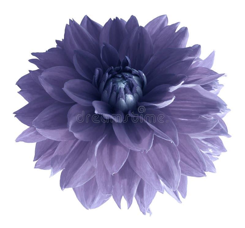 Purpurowy dalia kwiat odizolowywający na białym tle z ścinek ścieżką Zbliżenie żadny cienie obraz stock