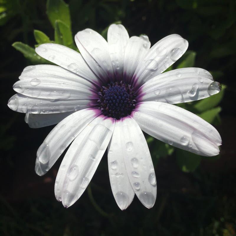 purpurowy deszcz fotografia royalty free