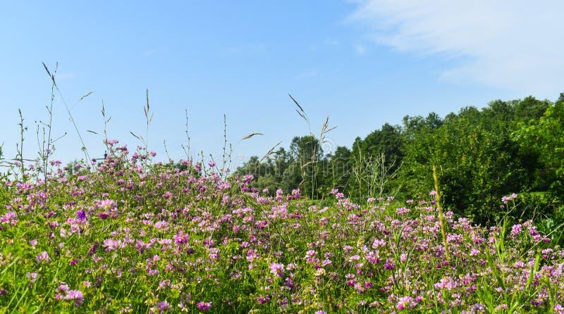 Purpurowy dzikich kwiatów pole w pogodnym letnim dniu z zieloną trawą i jaskrawym niebieskim niebem Projektująca akcyjna fotograf fotografia royalty free