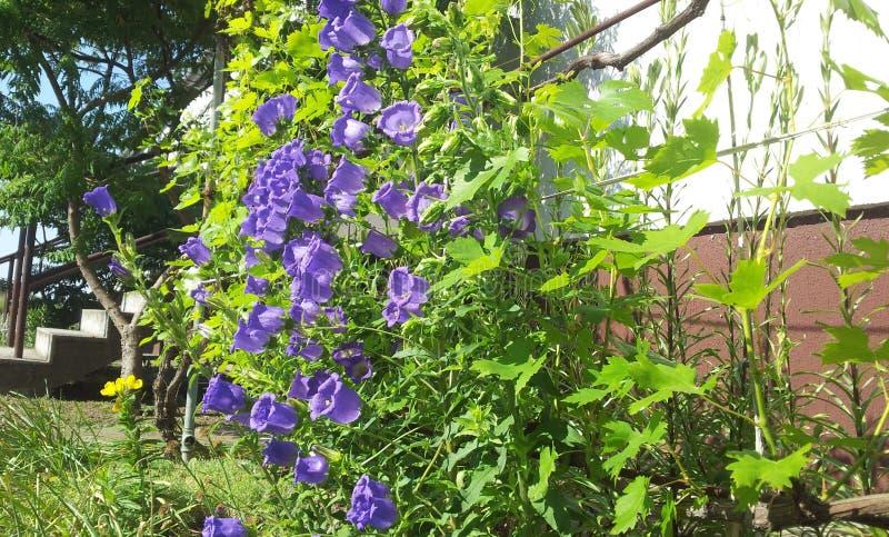 Purpurowy Dzwonkowy kwiat obraz stock