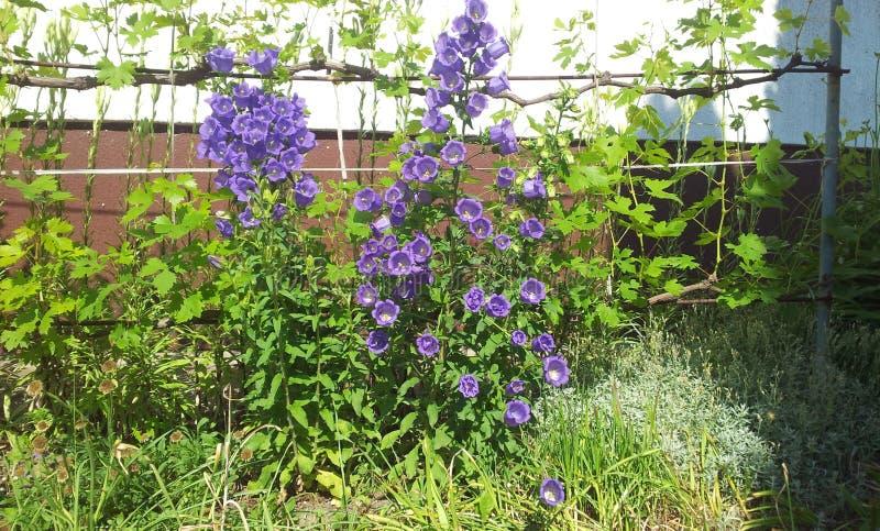 Purpurowy Dzwonkowy kwiat obraz royalty free