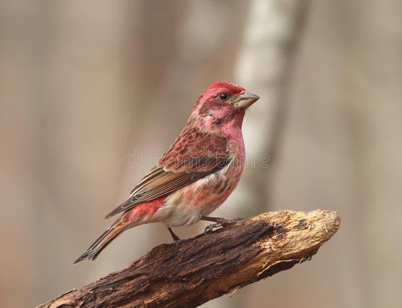 Purpurowy Finch zdjęcie stock