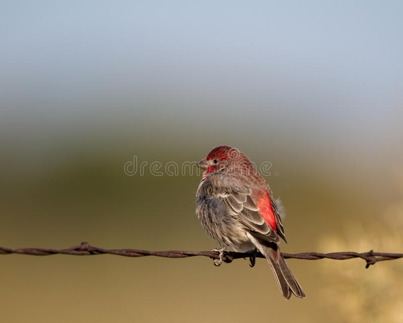 Purpurowy Finch, Carpodacus purpureus zdjęcia stock