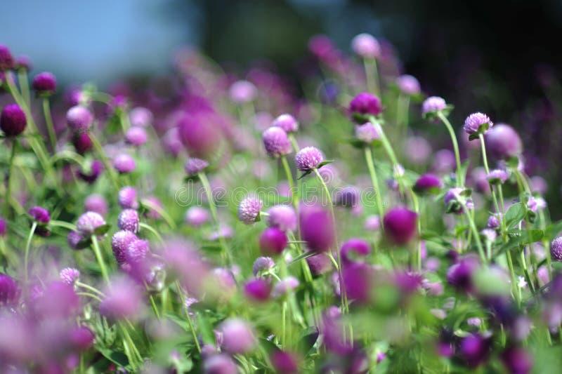 Purpurowy fiołkowy błękitny kwiat w ogródzie obraz stock