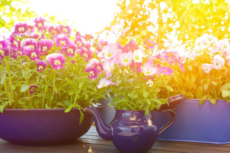 Purpurowy fiołkowy błękitny pansies światło słoneczne zdjęcie stock