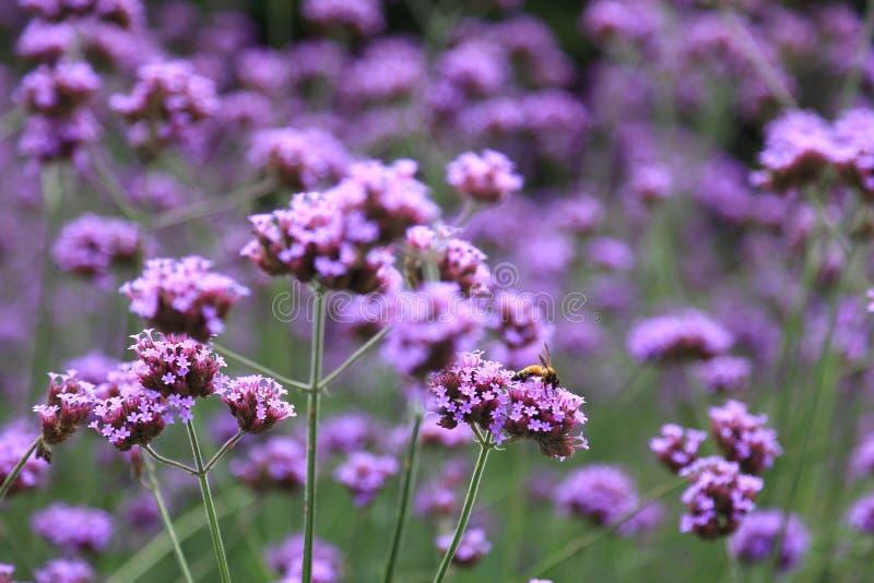 Purpurowy fiołkowy verbena bonariensis kwitnie z miodową pszczołą dostaje nektar od zapylanie procesu zdjęcia stock