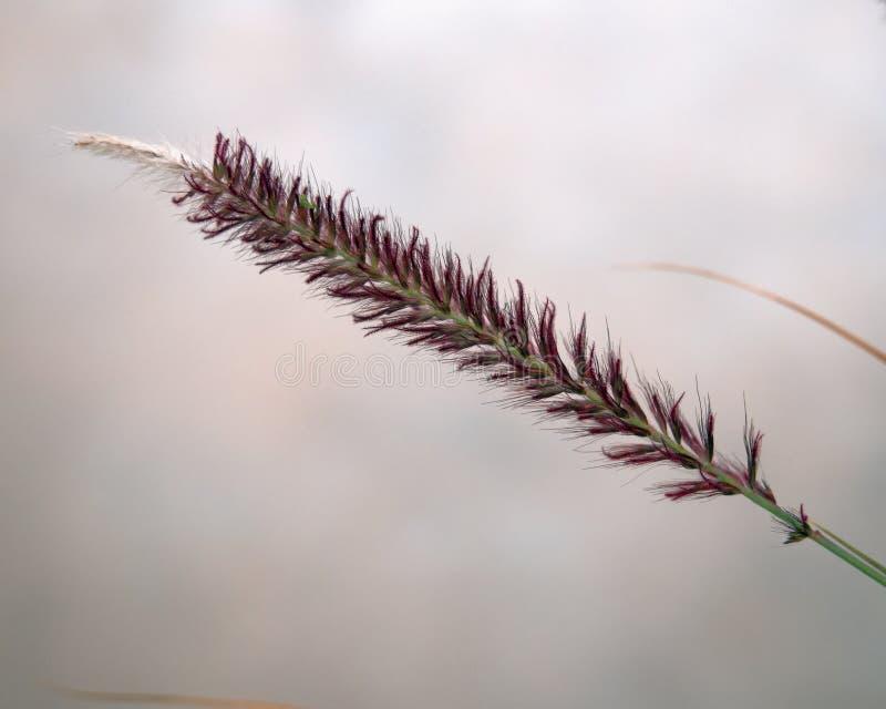 Purpurowy fontanny trawy pennisetum setaceum ` rubrum ` zdjęcie stock