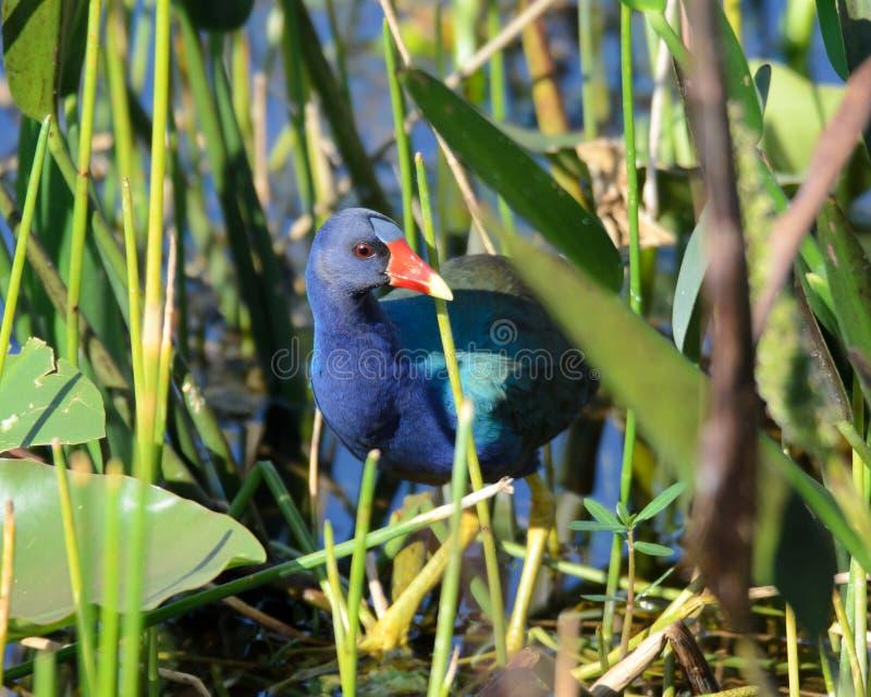 Purpurowy Gallinule fotografia royalty free