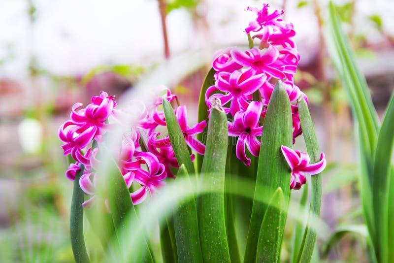 Purpurowy hiacyntowy kwiat kwitnący obrazy royalty free