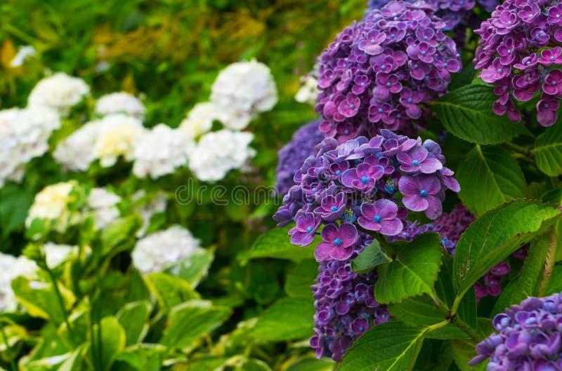 Purpurowy hortensi zakończenie przeciw tłu biała hortensja kwitnie zdjęcia royalty free