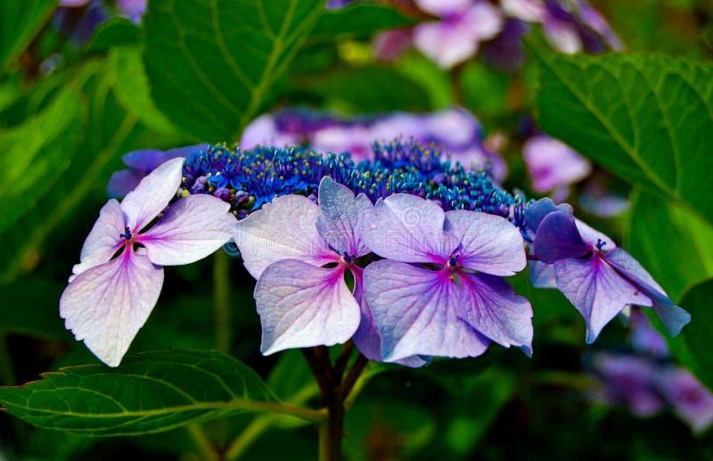Purpurowy hortensi zakończenie Up zdjęcie royalty free