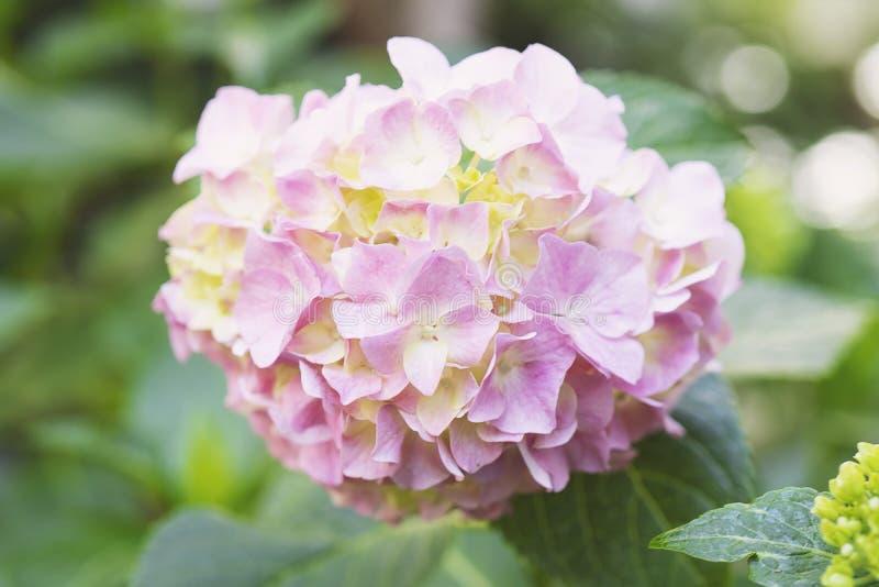 Purpurowy hortensja kwiatu hortensji macrophylla zdjęcie stock