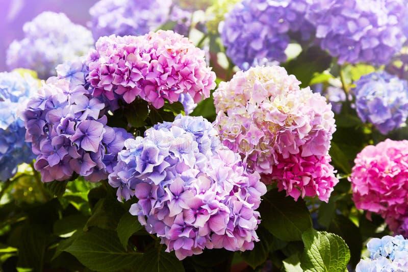 Purpurowy hortensja kwiatu hortensji macrophylla kwitnienie w wiośnie i lato w ogródzie fotografia stock