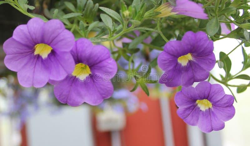 Purpurowy i Żółty Calibrachoa zdjęcia stock