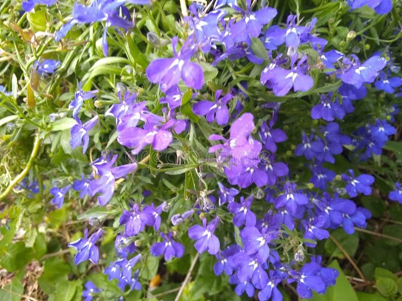 Purpurowy i błękitny flower& x27; s zdjęcia stock