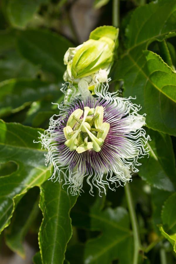 Purpurowy i biały passionflower fotografia royalty free